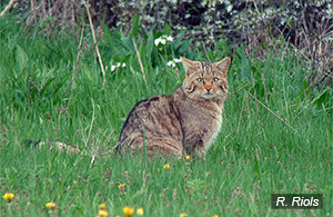 Chat forestier Hauts-de-France